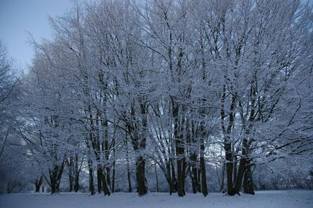 Snetræer, Stadion Parken, Rødovre