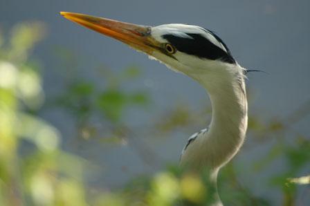 Den smukke fugl knejser med nakken