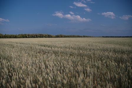 Sibirisk hvedemark oplyst af kun 1 pct. sollys...