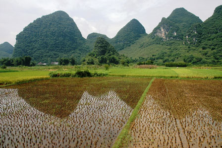 Rismarker ved Yangshuo