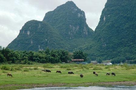 Vandbøfler ved Yangshou