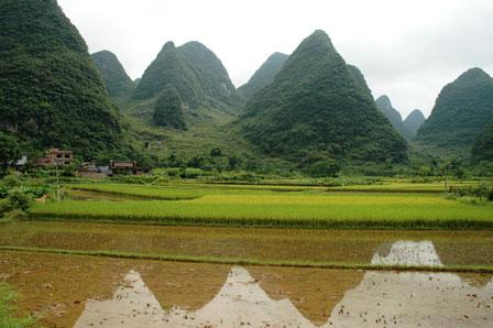 De unge risplanter står i vand konstant