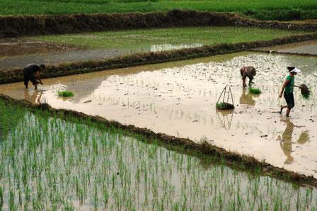 Nye risplanter sås ved at stikke dem i jorden enkeltvis