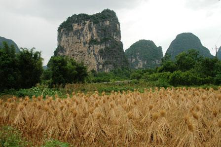 Høstede risplanter